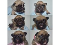 French bulldogs ** OUTSTANDING QUALITY ** KC Registered & Health tested!! - one and only litter!