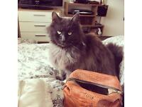 Cash Reward**** missing grey longhair fluffy cat Alan