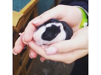 5 healthy baby rabbits, 30 quid each, due to leave in 6 weeks