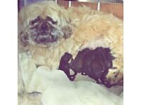 Shih Poo Puppies