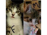 8 week old kittens male and female flead and wormed ready to go to there new loveing forever homes