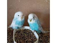 Baby Budgerigars for sale