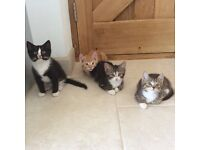 Beautiful kittens for sale Black with white feet, tabby and ginger kittens 10 weeks old ready to go