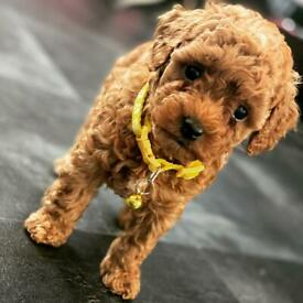 Toy poodle girl for sale