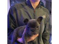 French bulldog puppy (male)