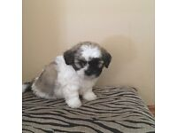 3 Lhasa apso crossed with Bichon frise