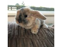Male Baby Lop Bunny