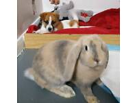 'Giant' french lop baby rabbits