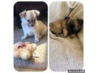 KC Chihuahua Long Coat puppies