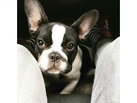 Pied KC registered female frenchie for sale