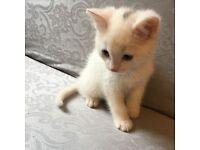 Beautiful white fluffy kitten £100
