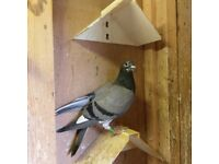 Young pigeons for sale
