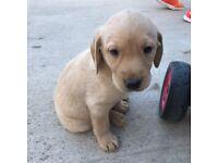 IKC Labrador pups