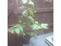 Leycesteria - large hardy shrub