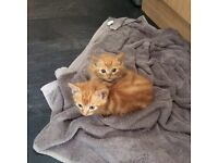 2 ginger kittens for sale £15 each last 2 from litter 8weeks old