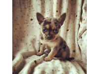 Chihuahua Puppies MUST SEE