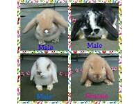 Pure Breed Mini Lop Rabbits