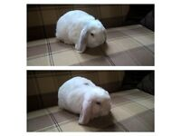 Blue eyed baby mini lop rabbits for sale