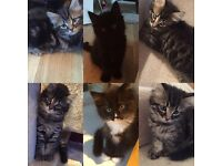Maine Coone x Persian kittens for sale ready to leave now - 3 Left