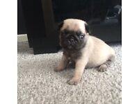 Kc reg pug pups