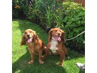 Cocker pups for sale.