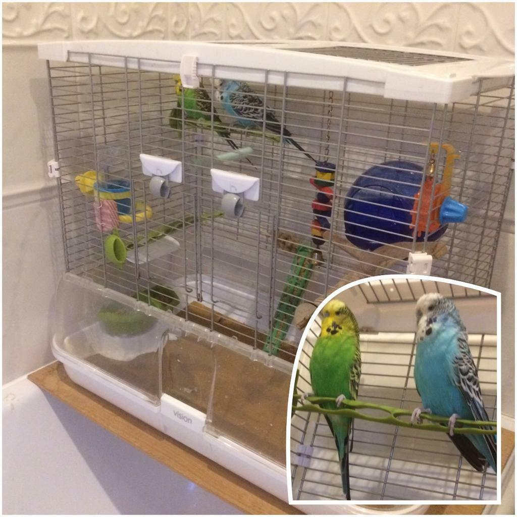 Budgies (Male) + 2 cages