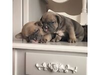 7 gorgeous KC registered French bulldog puppies DM HC clear