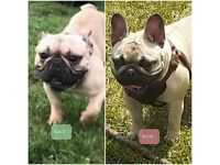 Beautiful fawn black mask french bulldogs for sale