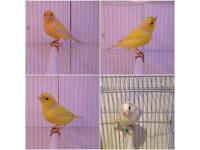 Canary & cage & free seed