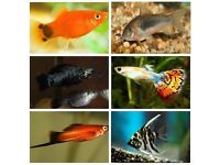 15x Tropical Fish Bundle ( Angel fish, Pleco, Guppy, Gouramis, Swordtails, Platies, Mollies, Corys)