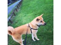 Beautiful Akita for sale