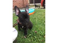 REDUCED Boy and girl French bulldogs left