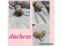 ***Outstanding french bulldog pups***