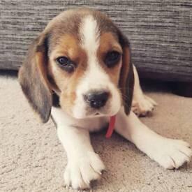 !!!!!!!! SOLD !!!!!!! Beagle puppy