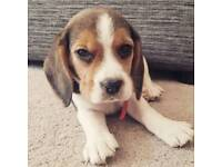!!!!!!!! SOLD !!!!!!! Beagle puppy