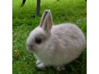 Baby Pure Bred Netherland Dwarf Rabbit Female - Marten Sable and V Friendly