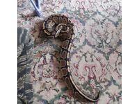 Male royal python and viv