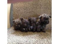 yorkshire terrier X Westie
