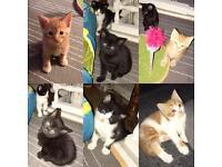 Beautiful BSH cross kittens