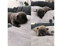 Amazing quality French bulldog puppies