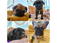 French Bulldog Puppies- Ready Now