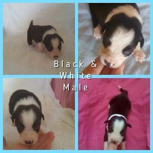 Purebred  Border Collie Pups Bellara Caboolture Area Preview