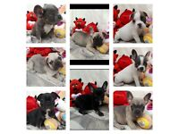 French bulldog puppies boys and girl for sale