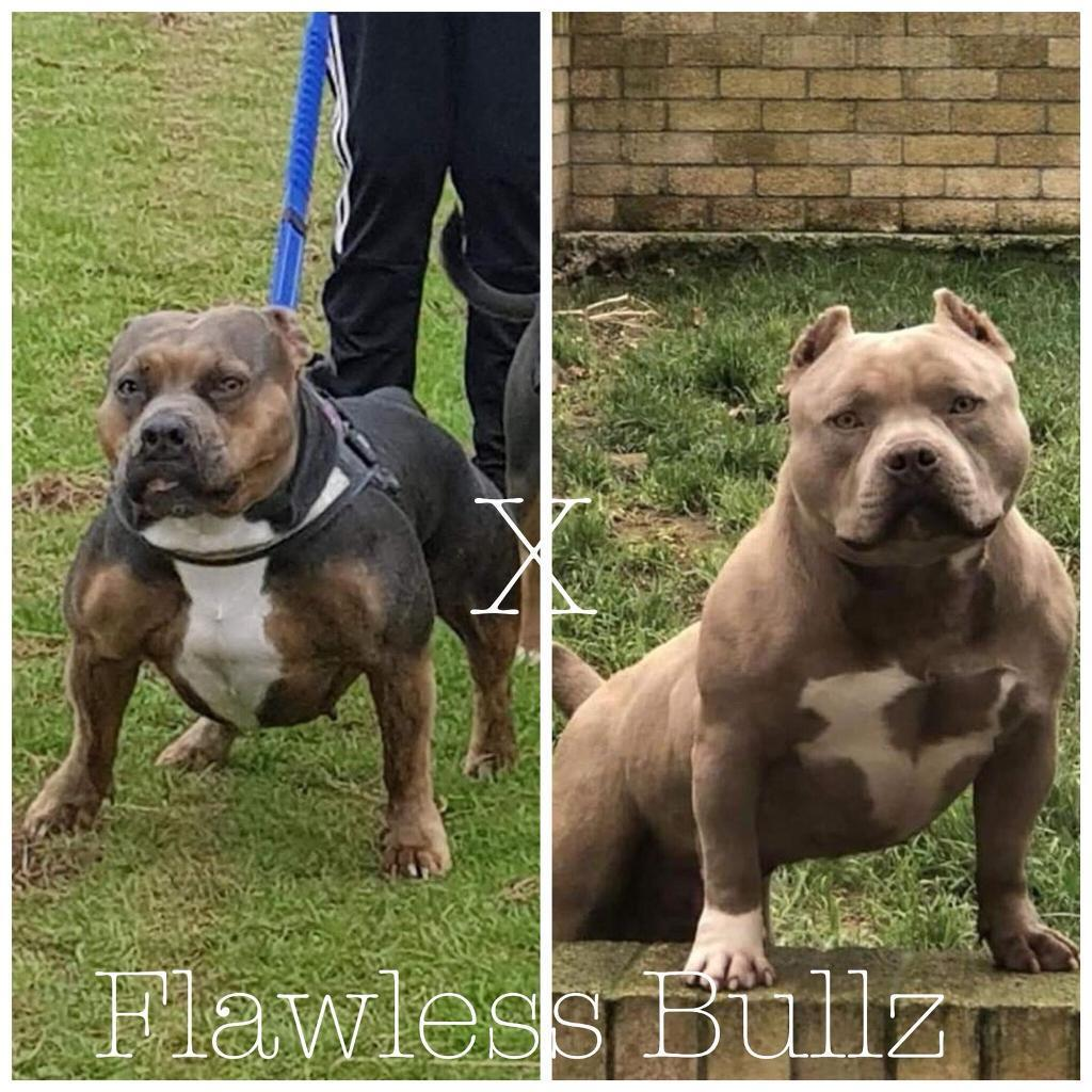 American Pocket Bully Pups/Puppies | in Newport | Gumtree