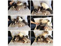 5 beautiful predigree chihuahuas 3girls 2 boys