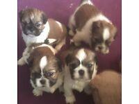 Beautiful little boy 🎀 Last of the litter pedigree shitzu puppy