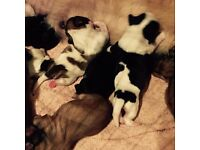 Shitzu Puppies for Sale