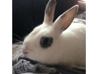 1 year old rabbit for sale