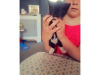 3 BLACK GORGEOUS KITTENS for sale