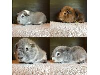 Female Baby Guinea Pigs For Sale rex smooth silver agouti pet types